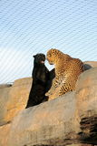 Cat fight - panthers fighting Royalty Free Stock Images