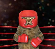 Cat fighter in boxing ring. The cat boxer is in a boxing ring royalty free stock image