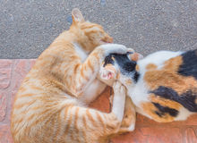 Cat fighting Stock Image