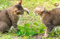 Cats fighting stock image
