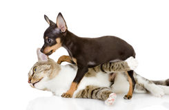 The cat fights with a dog. On white background royalty free stock image