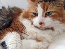 Cat. Fiji, a beautiful blue eyed Stock Images