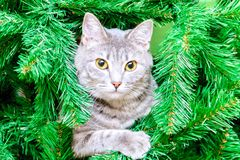 A cat among fir branches. Photos on a New Year theme. A cat looks out from the branches of a tree Stock Photo
