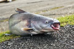 Cat fish Stock Image