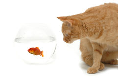 Cat and fish. Cat is lokking at a fish in a bowl. Note the fish is still alive and in well being Royalty Free Stock Images