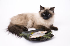 Cat and fish. The cat lies before a plate with fish on a white background royalty free stock images