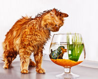 Cat and fish. Soaked red cat looking at fish in bowl Stock Photo