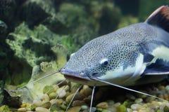 Cat-fish. Big catfish hide in water Royalty Free Stock Photos