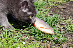 Cat and fish. Stock Photography