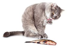 Cat and fish on a white background Royalty Free Stock Image