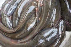 Cat Fishes vive in una vasca fotografie stock