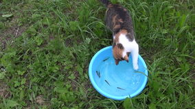 Cat fishing with claw small fish in bowl. Feline skills.