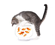 Cat Fishing for Gold Fish in an Aquarium Bowl Royalty Free Stock Photography