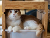 Cat fitting itself into a wooden shelf Royalty Free Stock Image