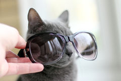 Cat on fitting sunglasses Stock Images