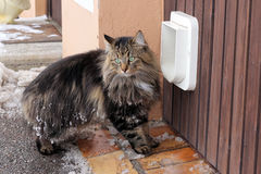The cat flap. A Norwegian forest cat before the cat's flap Royalty Free Stock Photography