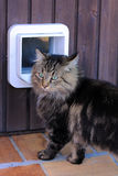 The cat flap. A Norwegian cat before a cat's flap Stock Photography