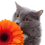 Cat with flower Royalty Free Stock Photos