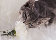 Cat and flower Stock Photography