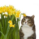 Cat and flowers. Cat with yellow flowers, isolated on a white background Stock Image