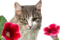 Cat and flowers. Portrait of cat with red flower buds on foreground; isolated on white Stock Image