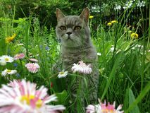Cat in the flowers. A british shorthair cat hiding in spring grass royalty free stock image