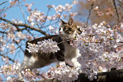 A cat in flowers. A cat in cherry blossom tree in a spring day Royalty Free Stock Photos
