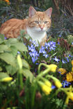 Cat and flowers in garden. Cat sat in the garden amongst spring flowers stock photos