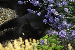 Cat among flowers. A cat hiding in a flower bed on a summers day Royalty Free Stock Photos