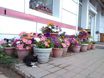Cat, flowers and nonchalance Stock Photography
