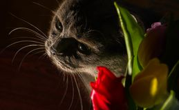 Cat and flowers portrait blue russian tulip celebration happiness smile. Young Stock Photos