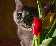 Cat and flowers portrait blue russian tulip celebration happiness smile. Young Royalty Free Stock Photography