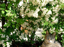 Cat among the flowers. A cat tigered among the flowers of a jasmine plant Royalty Free Stock Photography