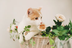 Cat with flowers in wicker basket of white retro bisycle Royalty Free Stock Image