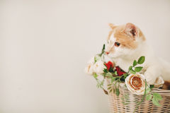 Cat with flowers in wicker basket of white retro bisycle Stock Image