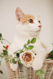 Cat with flowers in wicker basket of white retro bisycle Royalty Free Stock Photography