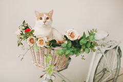 Cat with flowers in wicker basket of white retro bisycle Stock Photos