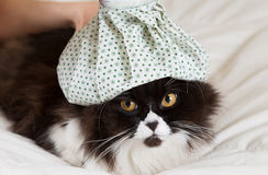 Cat flu. Persian cat flu and a hot water bottle on head Royalty Free Stock Photo