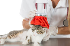 Cat flu. Veterinary fever down to a kitten with a water bag Royalty Free Stock Photography