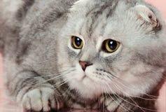 Cat. Fluffy gray beautiful adult cat, breed scottish-fold,  close up  portrait Royalty Free Stock Photos