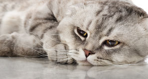 Cat. Fluffy gray beautiful adult cat, breed scottish-fold, very  close up  portrait Royalty Free Stock Photos