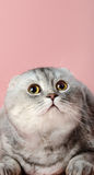 Cat. Fluffy gray beautiful adult cat look up, breed scottish-fold,  close up  vertical portrait Royalty Free Stock Photo