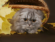Cat fold in the basket with leaves. Fold in the basket with leaves stock images