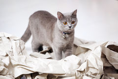 Cat and folded paper. Blue British Shorthair cat among some folded paper stock photos