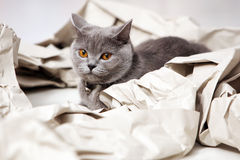 Cat and folded paper. Blue British Shorthair cat among some folded paper royalty free stock photo