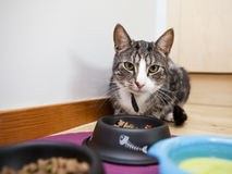 Cat with food Stock Image