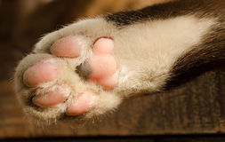 Cat foot Royalty Free Stock Photography