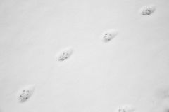 Cat footprints in the snow Royalty Free Stock Image