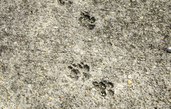 Cat Footprints in Stone. Footprints in stone urban street, animal and texture Royalty Free Stock Image
