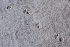 Cat footprints in a white snow stock images